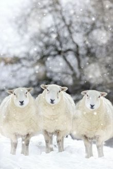 Sheep - Texel ewes in snow wearing Christmas hats