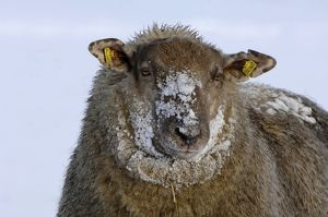 Sheep - in winter snow