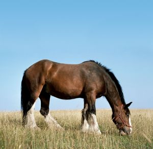Shire HORSE - In field grazing