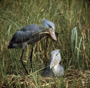 Shoebill / Whale-head Stork - pair at nest