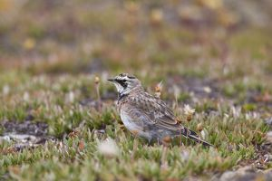 Shore / Horned Lark adult in summer