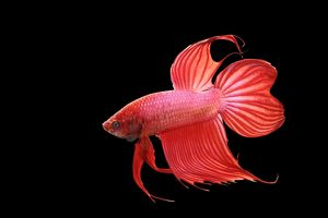 Siamese Fighting Fish - Red form male, full display