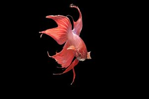 Siamese Fighting Fish - Red form male displaying front view