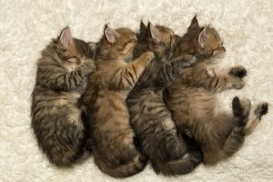 Four Siberian kittens sleeping