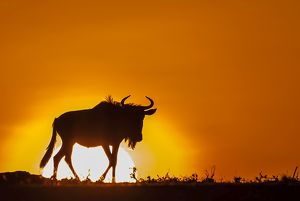 Silhouette of Blue or Common Wildebeest at dawn with the sun in