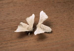 Silkworm Moth - Approching for mating
