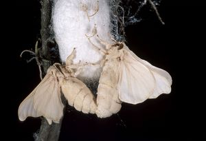 Silkworm Moth - Mating on the cocoon.