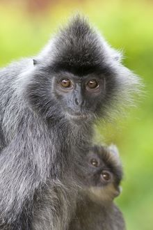 Silvered Langur- Mother with baby