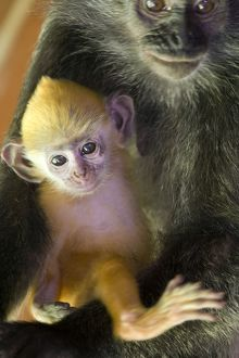 Silvered Langur - Mother holding very young infant