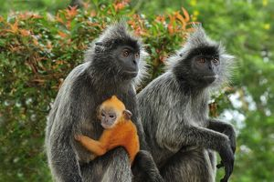 Silvery Lutung / Silvered Leaf Monkey / Silvery Langur - mother with baby - young