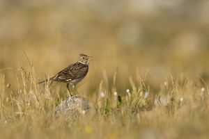 Skylark adult on rock singing