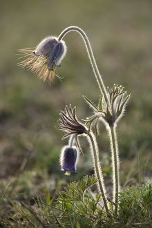 Small Pasque flower - evening light
