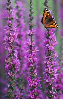 Small Tortoiseshell BUTTERFLY - resting on Purple Loosestrife (Lythrum salicaria)