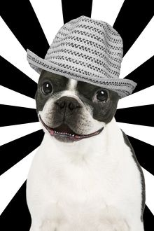 Smiling Boston Terrier dog with black and white hat & background