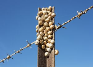 Snails at a fence post Andalusia, Spain