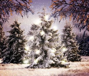 Snow - Conifers in winter landscape with Christmas lights