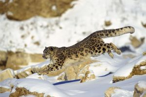 Snow Leopard - Running through snow with rocks behind