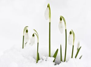 Snowdrop - in snow. late winter or early spring