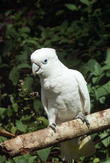 Solomons Cockatoo / Ducorps Cockatoo