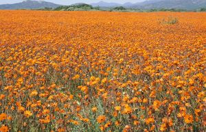 SOUTH AFRICA - Orange Daisies