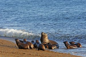 South American / Southern / Patagonian Sea Lion(formerly Ot
