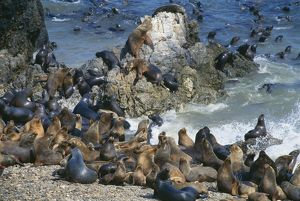 South American / Southern / Patagonian Sealion - group on rocks and beach