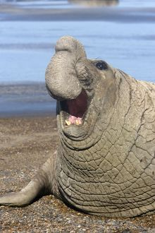 Southern Elephant Seal - Dominant male