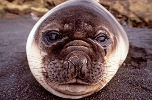 Southern Elephant Seal - lying on beach - close-up of face