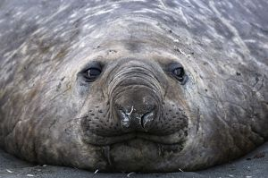 Southern Elephant Seal - Male