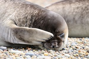 Southern Elephant Seal - pup -