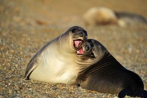 Southern Elephant Seal - pups playing