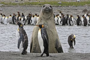 Southern Elephant Seal - showing size comparison with King Penguins (Aptenodytes