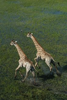 Southern Giraffe - Aerial view of Giraffe running in water