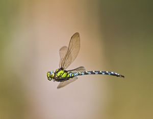 Southern Hawker Dragonfly - female in flight