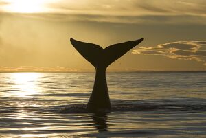 Southern Right Whale - tail, at sunset