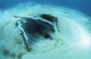 SOUTHERN STINGRAY - digging in sand for food