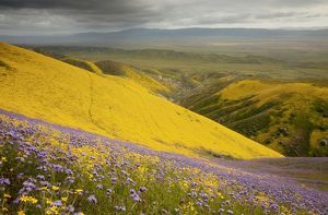 Spectacular masses of spring wildflowers, mainly Hillside Daisy and Phacelia, covering