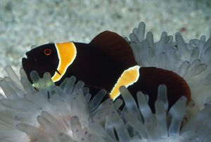 Spine-cheek ANEMONE FISH / CLOWN FISH - in Sea Anemone