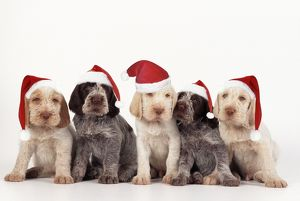 Spinone Dog - puppies wearing christmas hats