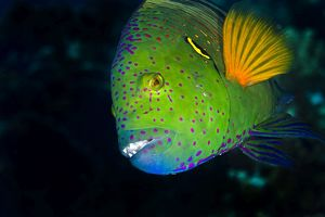 Splendour / Broomtail Wrasse