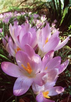 SPRING CROCUS - Many Purple