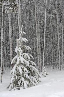 Spruce Forest - in snow