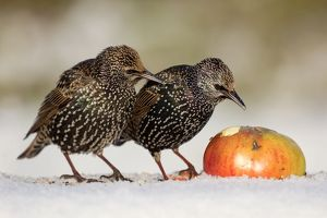 Starling - in snow eating apple