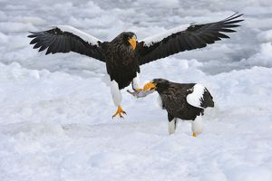 Steller's Sea Eagle in flight with fish prey in snow