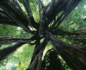 Strangler FIG - view looking up into tree showing aerial roots