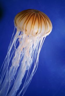 Striped JELLYFISH