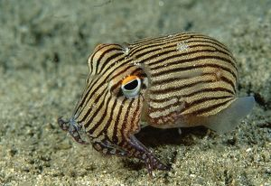 Striped Pyjama SQUID - surrounded by Mysid shrimp