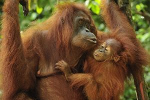 Sumatran Orangutan - mother with baby (Pongo abelii)