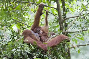 Sumatran Orangutan - Mother and playful 9 month old baby in day nest
