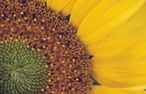 SUNFLOWER - close up